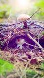 Dois cogumelos venenosos pequenos fotografia de stock royalty free