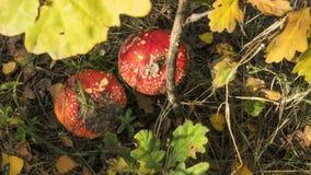 Dois cogumelos vermelhos na floresta do outono sob as folhas amarelas fotos de stock royalty free