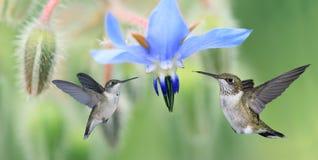 Dois colibris (colubris do archilochus) em voo imagem de stock royalty free
