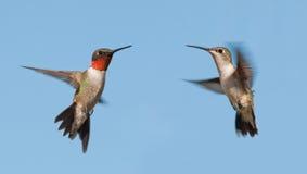 Dois colibris Rubi-throated, um homem e fêmea, voando imagens de stock royalty free