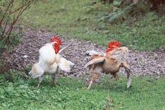 Dois completamente da luta do galo espalharam suas asas e fluffed penas na grama verde Foto de Stock