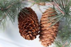 Dois cones do pinho Fotos de Stock Royalty Free
