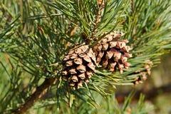 Dois cones do pinho Fotografia de Stock