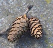 Dois cones do pinho na terra Fotos de Stock Royalty Free