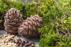 Dois cones do pinho, porcas e musgo natural em um fundo concreto cinzento Imagem de fundo fotografia de stock royalty free