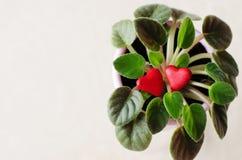 Dois corações vermelhos no potenciômetro de flor Fotografia de Stock