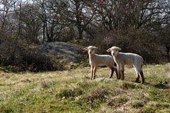 Dois cordeiros bonitos Foto de Stock