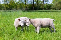 Dois cordeiros brancos que jogam junto no prado verde Imagem de Stock Royalty Free