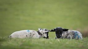 Dois cordeiros do bebê em um campo de grama Fotografia de Stock