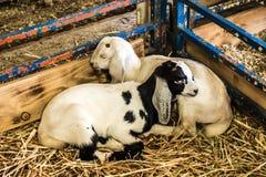 Dois cordeiros do bebê que dormem no canto da pena imagens de stock royalty free