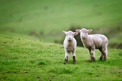 Dois cordeiros no prado. Fotografia de Stock