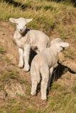 Dois cordeiros pequenos curiosos Fotografia de Stock