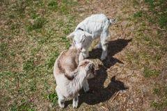 Dois cordeiros pequenos na grama verde na forma do sinal do yin e do yang Carneiros da amizade na pensão imagens de stock royalty free