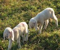Dois cordeiros pequenos pastam no prado Fotografia de Stock