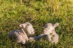 Dois cordeiros pequenos que dormem no prado Fotografia de Stock