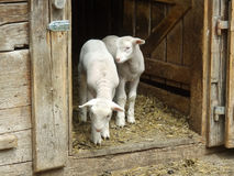 Dois cordeiros pequenos que ficam na porta na exploração agrícola e que esperam seu f Fotografia de Stock Royalty Free