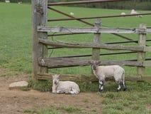 Dois cordeiros que descansam perto de uma porta da exploração agrícola Fotos de Stock Royalty Free