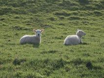 Dois cordeiros que encontram-se na luz solar Fotografia de Stock Royalty Free