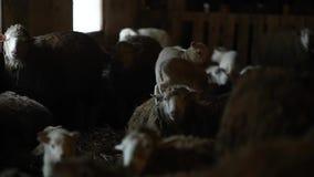 Dois cordeiros que estão em um carneiro Rebanho dos carneiros no celeiro Gropup de carneiros marrons filme