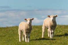 Dois cordeiros que estão no prado Fotos de Stock