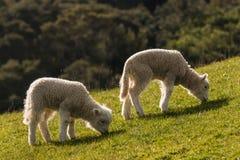 Dois cordeiros que pastam no prado Fotos de Stock