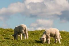 Dois cordeiros que pastam no prado Fotografia de Stock