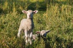 Dois cordeiros recém-nascidos no prado Fotografia de Stock