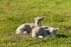 Dois cordeiros recém-nascidos que descansam no prado Fotografia de Stock Royalty Free