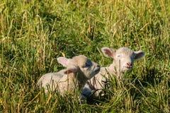 Dois cordeiros recém-nascidos que descansam no prado Imagem de Stock Royalty Free