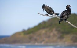 Dois Cormorants em um ramo Foto de Stock Royalty Free