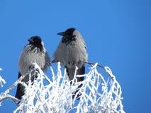 Dois corvos Fotografia de Stock