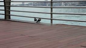 Dois corvos pretos grandes sentam-se em uma costa da terraplenagem do mar Cáspio, em Baku filme