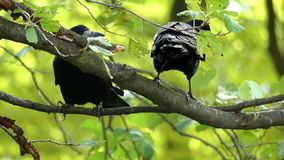 Dois corvos sentam-se em um ramo e limpam-se seus bicos no slo-mo vídeos de arquivo