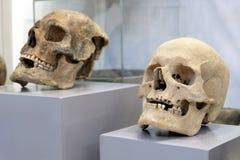 Dois crânios humanos em pousas-copos cinzentas Armazenando para comemorar todo o dia de Saint, Dia das Bruxas ou uma noite no mus foto de stock royalty free