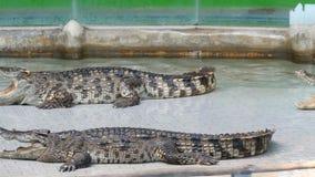 Dois crocodilos grandes encontram-se com as maxilas abertas na arena filme