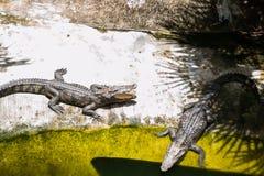 Dois crocodilos tomam sol no sol Exploração agrícola do crocodilo, Tailândia Fotografia de Stock