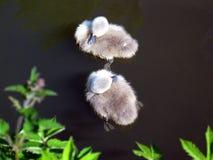 Dois cisnes novos Fotografia de Stock