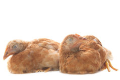Dois da galinha da galinha dos ovos que asleeping no uso branco do fundo para o fu Fotos de Stock