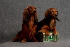Dois dachshunds e caixas do tesouro Fotografia de Stock