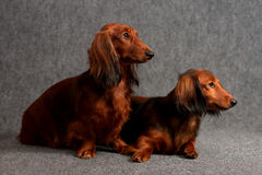 Dois dachshunds Longhair Fotografia de Stock Royalty Free