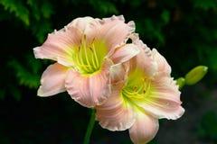 Dois daylilies cor-de-rosa de Lite Fotografia de Stock