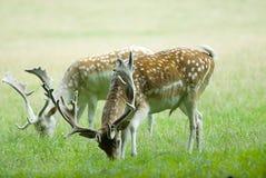 Dois deers vermelhos em um esclarecimento, pastando Fotos de Stock Royalty Free