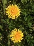 Dois dentes-de-le?o de floresc?ncia amarelos em um gramado verde fotografia de stock