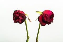 Dois desidrataram as rosas que estão girando de uma outra Foto de Stock Royalty Free