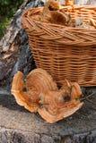 Dois do tampão colhido do leite do açafrão no fundo de madeira natural Imagens de Stock Royalty Free