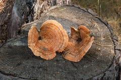 Dois do tampão colhido do leite do açafrão no fundo de madeira natural Fotos de Stock Royalty Free