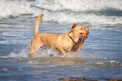 Dois doggs com o um brinquedo na praia fotografia de stock royalty free