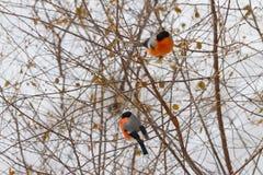 Dois dom-fafe sentam-se no ramo de árvore Fotos de Stock