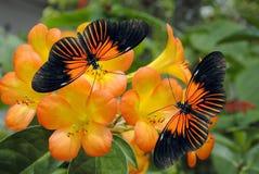 Dois Doris Longwing Butterflies Fotos de Stock Royalty Free