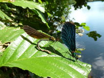 Dois dragonflys Foto de Stock